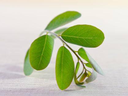 Moringa z Filipín: superpotravina pro celou rodinu!